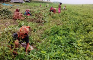 Peanut cultivation in new emerged lands