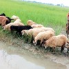 Livestock rearing makes many households economically solvent